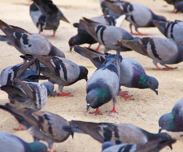 Breaking News: Pigeons Run Amuck at Parse Office Complex